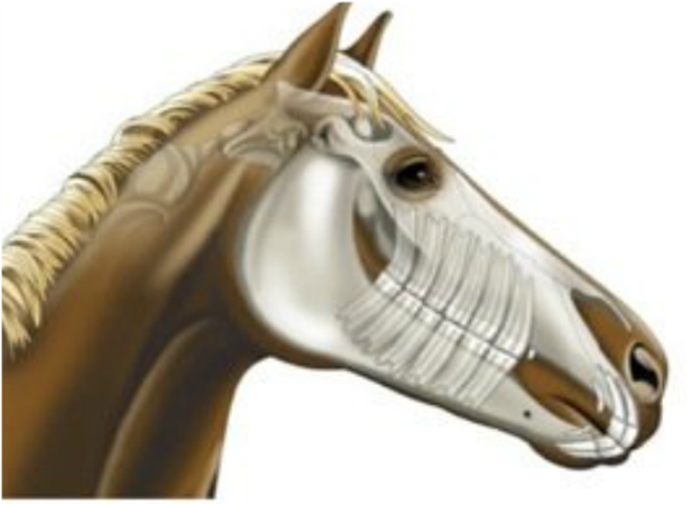 When And Why To Have Your Horse S Teeth Floated The